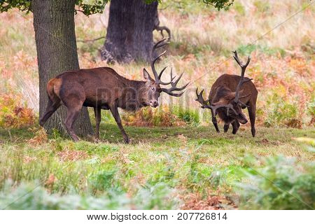 Red Deer (cervus Elaphus) During The Rutting Season