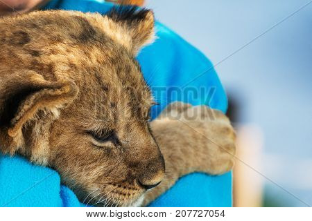 Lion cub resting on mom close up