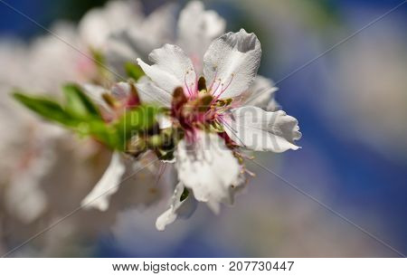 White flower isolated of almond tree in full splendor