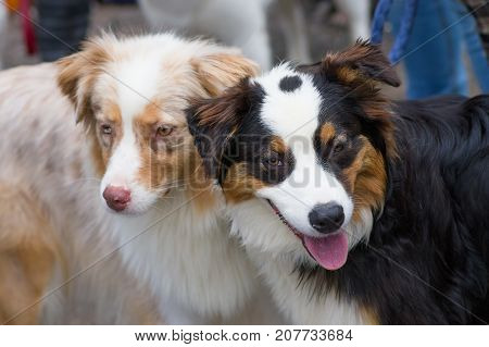 Two dogs look into the camera, a cunning look, eyes narrowed, tongue poked out. Concept: cute, home, friend, love, affection, kindness, care. Space under the text. 2018 year of the dog in the eastern calendar