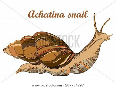 Vector drawing of Achatina snail or African giant land snail in the conical shell isolated on white background. Hermaphrodite gastropod mollusk in contour style for fauna illustration.