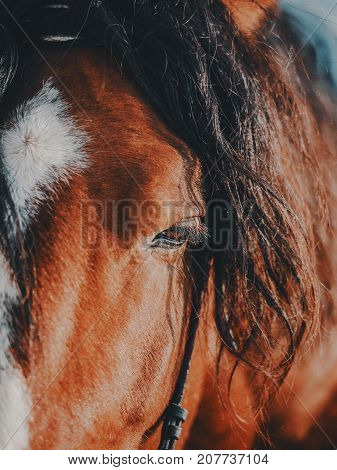 Brown stallion. Portrait of a sports brown horse. Riding on a horse. Thoroughbred horse. Beautiful horse.