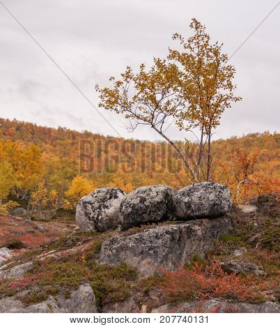Lonely birch and three eyecatching rocks in golden autumn Lapland. Nice red and yellow backround. Good backround image