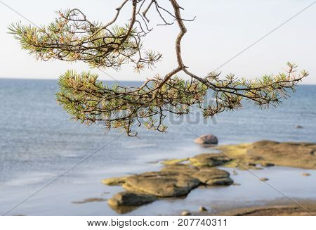 Pine limb at the sea with rocks in foreground