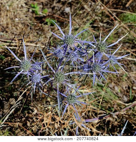 plant and inflorescences of amethyst sea holly eryngium amethystinum
