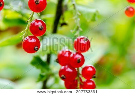 Fresh Ripe Redcurrant Bush In The Garden. Growing, Ready To Harvest