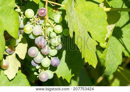 Bunch Of Unripe Red Wine Growing In The Garden
