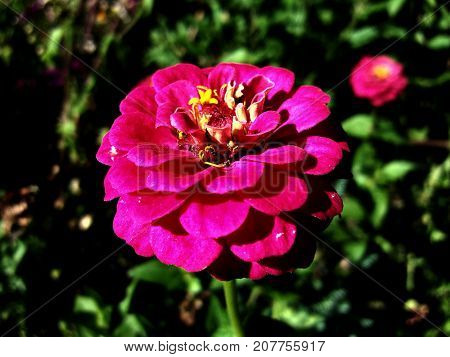 Pink beautiful colorful flower cynicism in garden