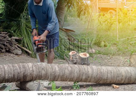 human hand hold Sawing machine cutting coconut tree in the evening.