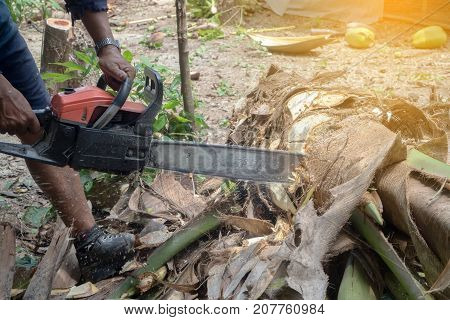 human hand hold Sawing machine cutting coconut tree.