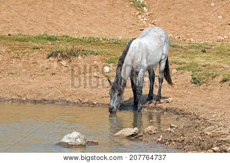 Blue Roan yearling colt wild horse at the water hole in the Pryor Mountains Wild Horse Range in Montana United States