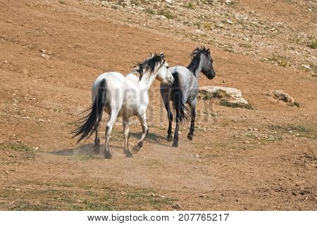White Apricot Dun Buckskin stallion and Blue Roan mare wild horses running in the Pryor Mountains Wild Horse Range in Montana United States