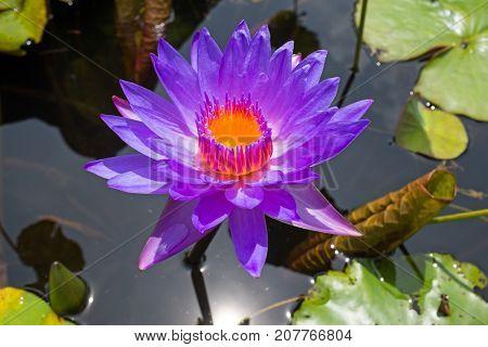 Purple lotus flower floating in water