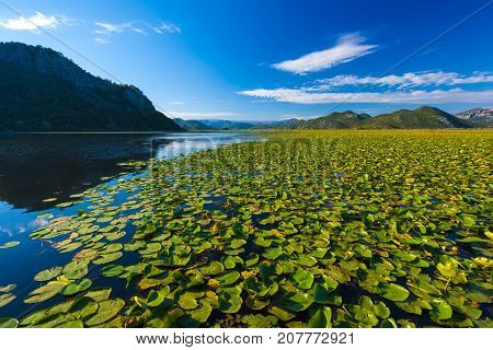A huge field with lilies. Skadar Lake. Montenegro. Photo taken at Skadar Lake Podgorica region. poster