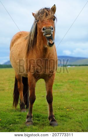 The funny grinning Icelandic horse on the background of nature landscape of Iceland