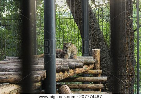 Yalta, Crimea - 11 July, Wild beast in the aviary, 11 July, 2017. Zoo and animals on the territory of the hotel Yalta Intourist.