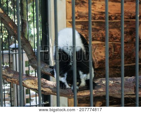 Yalta, Crimea - 11 July, The beast is on a branch in the enclosure, 11 July, 2017. Zoo and animals on the territory of the hotel Yalta Intourist.