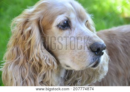 Brown spaniel with tapered ears hanging down his head poster