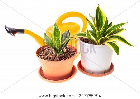 Two Sansevieria And Watering Can
