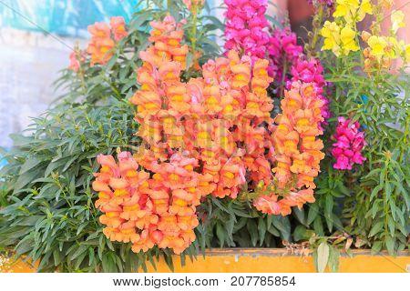 Orange And Pink Antirrhinum