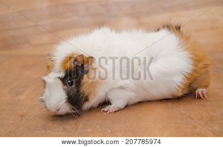 Cute white and brown Abyssinian guinea pig against a wooden background
