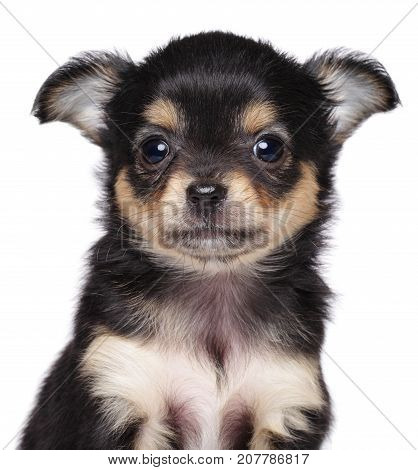 Chihuahua Puppy. Close-up Portrait