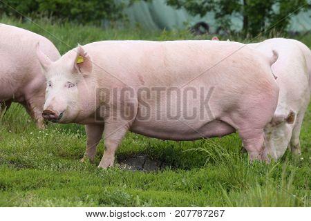 Big fat sow pig graze on summer pasture