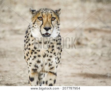 savannah scenery including a Cheetah in Namibia Africa