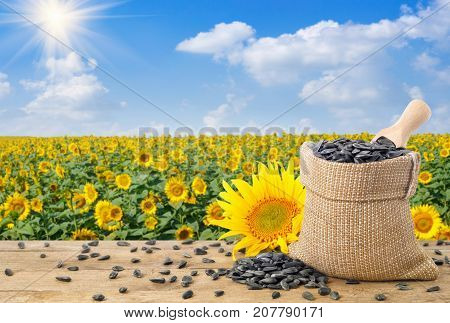 sunflower seeds and scoop in burlap bag, fresh sunflower on wooden table with natural background. Blooming sunflower field with blue sky and sun. Agriculture and harvest concept