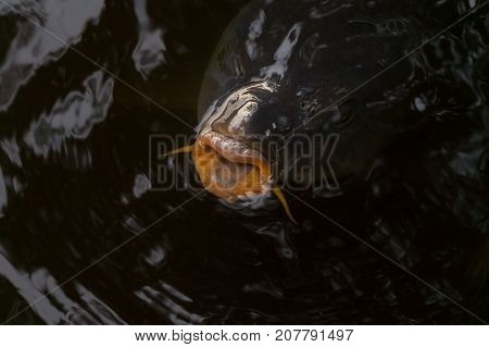 Close-up of a big Carp with open Mouth. View from above on a large Carp Fish in the Water. Natural Nature and Animal Backgrounds.