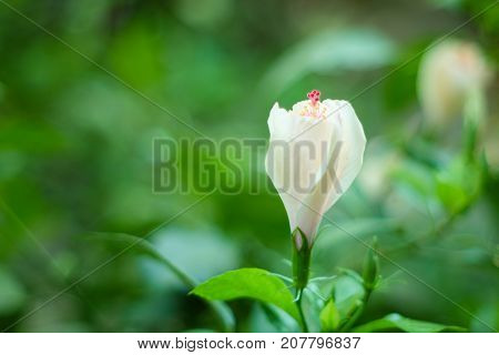 White Single Hibiscus With Green Leave,