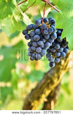Vineyards at sunset in autumn harvest. Ripe grapes.Wine Region Southern Moravia - Czech Republic. Vineyard under Palava.