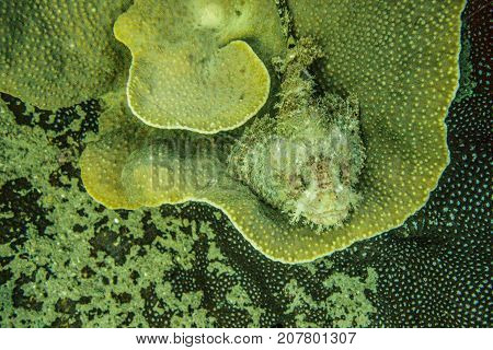 Stone fish camouflage on the coral in Andaman Sea Thailand