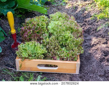 Harvesting Lollo rosso lettuce salad in the organic sunny vegetable garden. Purple coral lettuce salad heads in the wooden box.