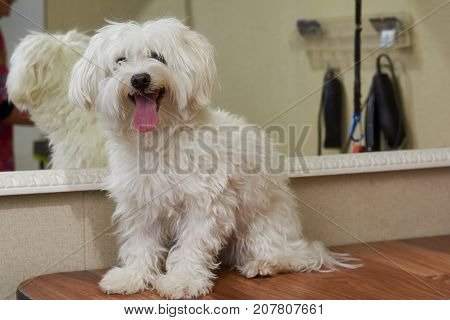 Happy white maltese. Cute dog, tongue sticking out. Friendly and smart animal.