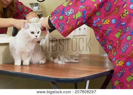 Beautiful cat getting haircut. British shorthair grooming, pet salon.