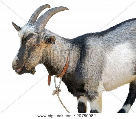 the Portrait goat on a white background