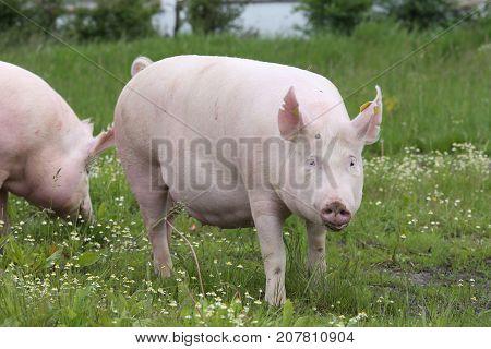 Farm animals sow pigs enjoyed summer sunshine