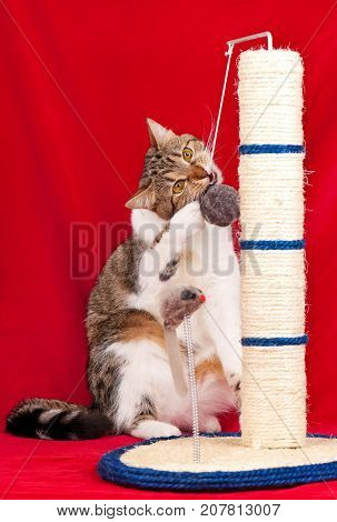 Adult cat playing with scratching post over red background