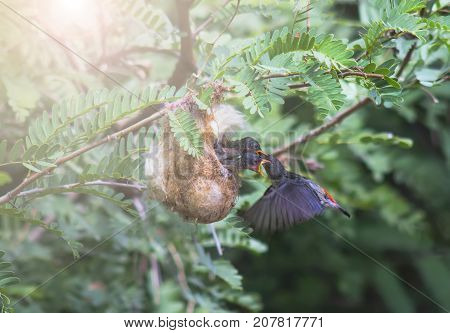 Birds feeding in the nest (Scarlet-backed Flowerpecker)