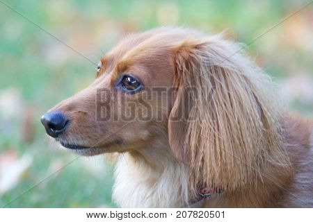 A longhaired dachshund outside in a backyard in Fall.  Close up on the head.