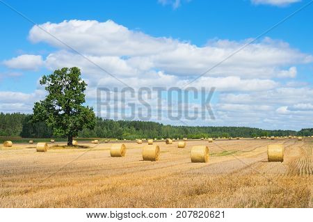 Rustic bright landscape with straw rolls in the field