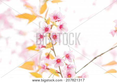Close-up wild Himalayan Cherry Blossoms branch in spring season on mountain in forest selective focus