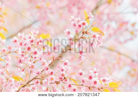 Wild Himalayan Cherry Blossom branch in spring season on mountain in forest as background selective focus