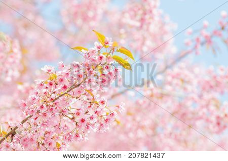 Wild Himalayan Cherry Blossoms branches in spring season over blue sky on mountain in forest as background selective focus