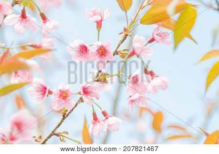 Close-up wild Himalayan Cherry Blossom branches over blue sky in spring season on mountain in forest selective focus