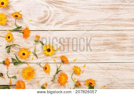 Calendula. Marigold flower on white background with copy space for your text. Top view.