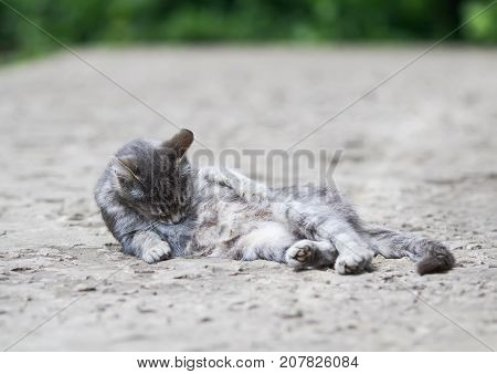 funny striped cat lies and washes her hair in the yard in the summer