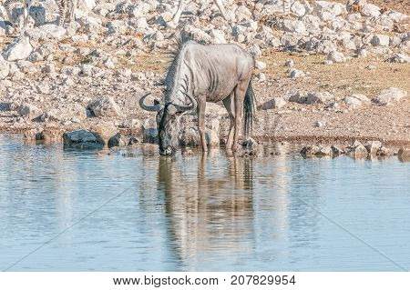 A blue wildebeest also called a brindled gnu (Connochaetes taurinus) drinking water at a waterhole in Northern Namibia