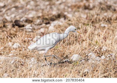 A Cattle egret Bubulcus ibis walking in grass in Northern Namibia
